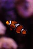 Clownfish, Amphiprioninae Στοκ Φωτογραφία