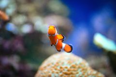 Clownfish or Amphiprioninae Royalty Free Stock Photos