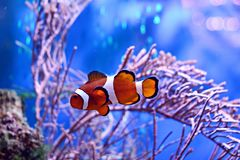 Clownfish, Amphiprioninae, in aquarium tank with reef as background. Ocellaris Clownfish in Coral Reef Aquarium Royalty Free Stock Images