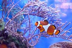 Clownfish, Amphiprioninae, in aquarium tank with reef as background. Ocellaris Clownfish in Coral Reef Aquarium Stock Image