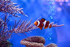 Clownfish, Amphiprioninae, in aquarium tank with reef as background. Ocellaris Clownfish in Coral Reef Aquarium Royalty Free Stock Photo