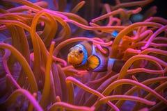 Clownfish Amphiprioninae, das zwischen Seeanemonen sich versteckt stockbild