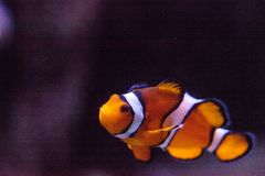 Clownfish, Amphiprioninae, in a marine fish and reef aquarium. Staying close to its host anemone Royalty Free Stock Photography