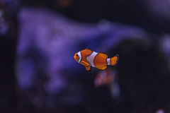 Clownfish, Amphiprioninae Stock Images