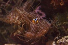 Clownfish, Amphiprioninae Stock Photo