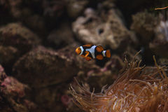 Clownfish, Amphiprioninae Royalty Free Stock Images