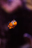 Clownfish, Amphiprioninae Stock Image