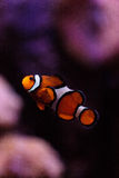 Clownfish, Amphiprioninae Stock Photography