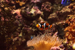 Clownfish, Amphiprioninae Royalty Free Stock Image