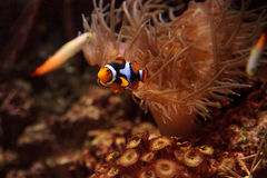 Clownfish, Amphiprioninae Royalty Free Stock Photos
