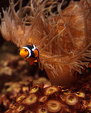 Clownfish, Amphiprioninae Royalty Free Stock Photography