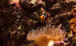 Clownfish, Amphiprioninae Stock Photos