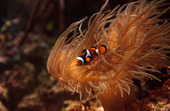 Clownfish, Amphiprioninae. In a marine fish and reef aquarium, staying close to its host anemone Stock Photo