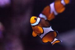 Clownfish, Amphiprioninae, in a marine fish and reef aquarium. Staying close to its host anemone Stock Images