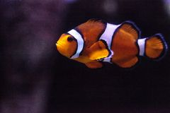 Clownfish, Amphiprioninae, in a marine fish and reef aquarium. Staying close to its host anemone Royalty Free Stock Image