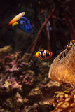 Clownfish Amphiprioninae and royal blue tang Royalty Free Stock Photography