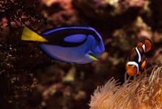Clownfish Amphiprioninae and royal blue tang Stock Photo