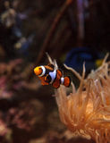 Clownfish Amphiprioninae and royal blue tang Stock Images