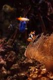Clownfish Amphiprioninae and royal blue tang Stock Photos