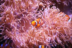 Clownfish or Amphiprioninae on Sea anemone background