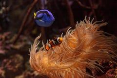 Clownfish Amphiprioninae y sabor del azul real Foto de archivo libre de regalías