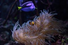 Clownfish Amphiprioninae y sabor del azul real Imágenes de archivo libres de regalías