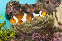 Clownfish (Amphirion ocellaris) pair in Anemone Stock Images