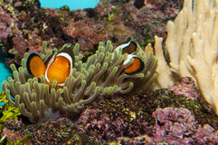 Clownfish (Amphirion ocellaris) pair in Anemone Stock Image