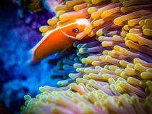 Clownfish, anémone Espèce marine Photo stock