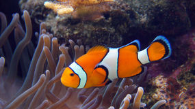 Clownfish with anamone Royalty Free Stock Images