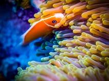 Clownfish, anemone Θαλάσσια ζωή Στοκ Εικόνες