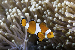 Clownfish in anemone. Ocellaris clownfish (Amphiprion ocellaris) and sea anemone Royalty Free Stock Photo