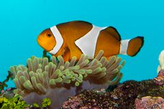 Clownfish in Anemone Stock Images