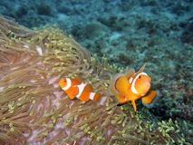 Clownfish & Anemone Royalty Free Stock Photography