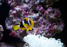 Clownfish and anemone. In the aquarium Royalty Free Stock Image