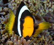 Clownfish in anemone. A clownfish swimming in its anemone, underwater Royalty Free Stock Photo