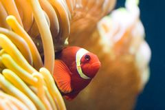 Clownfish in anemone. Clownfish in an sea anemone Royalty Free Stock Photos