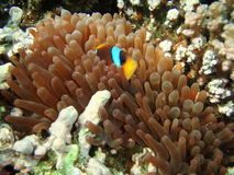 Clownfish in the anemone algae Royalty Free Stock Photography