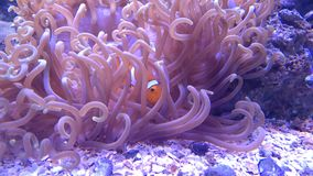 Clownfish and anemone stock photography