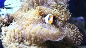 Clownfish in anemone in the aquarium stock footage