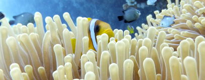 Clownfish and Anemone. Clown Fish looking out over the top of an anemone, Marsa Alam, Egypt Royalty Free Stock Photos