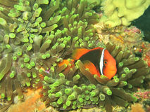 Clownfish in Anemone Coral. Clownfish in simbiotic relationship with anemone coral Stock Photography