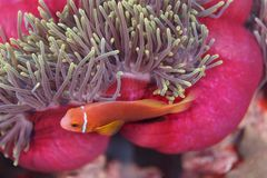 Clownfish, anemone fish, hiding  under edge of pink and blue sea anemone. Bright orange  of clownfish, anemone fish, hiding in tentacles of pink sea anemone Royalty Free Stock Photo