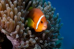 Clownfish , an orange  anemone fish, hiding in sea anemone. Clownfish, an anemone fish, peering through the mass of tentacles of a sea anemone Royalty Free Stock Images