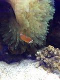 Clownfish with anemone. Marine fish hosting large bubble Stock Images