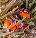 Clownfish in an anemone Royalty Free Stock Images
