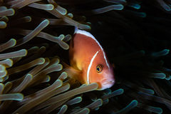 Clownfish in anemone Stock Image