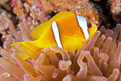 Clownfish Stock Photos