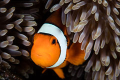 Clownfish and Anemone Tentacles Royalty Free Stock Photos