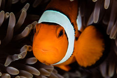 Clownfish and Anemone Tentacles Royalty Free Stock Photography